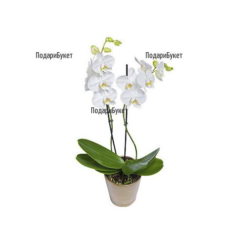 Доставка на голяма бяла орхидея Фалаенопсис в саксия в София. Пловдив