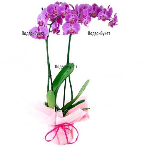 Send Pink Phalaenopsis orchid pot plant to Sofia, Plovdiv, Varna, Burgas