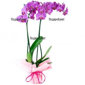 Доставка на розова орхидея Фалаенопсис в София, Пловдив, Варна, Бургас