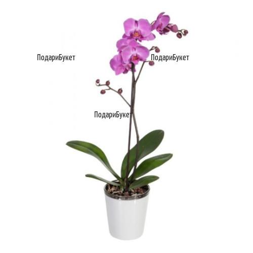 Send Orchids - pot plants то София, Плея в саксия в София, Пловдив, Варна, Бургас