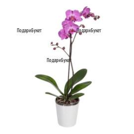 Доставка на орхидея в саксия в София, Пловдив, Варна, Бургас