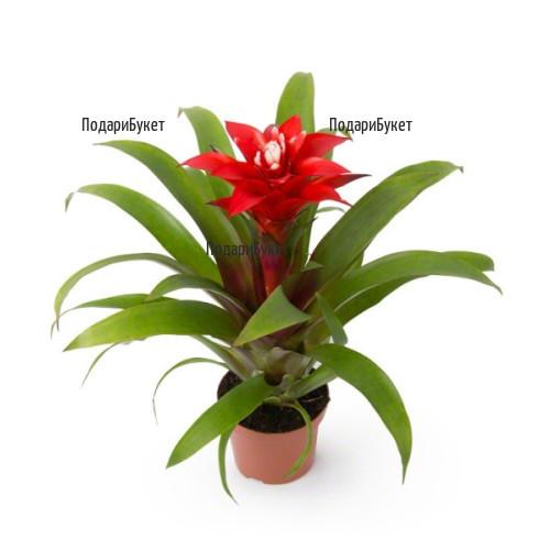 Send Guzmania pot plant to Sofia, Plovdiv, Varna, Burgas