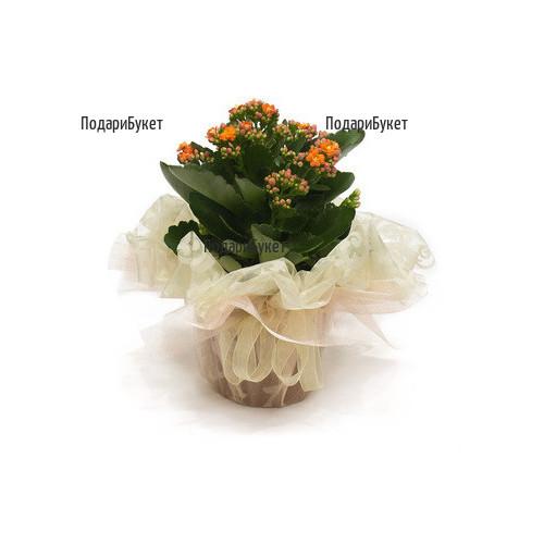 Send Kalanchoe pot plant to Sofia, Plovdiv, Varna, Burgas