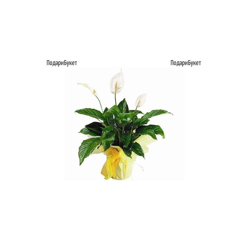 Send Spathiphyllum - pot plant to Sofia, Plovdiv, Varna, Burgas