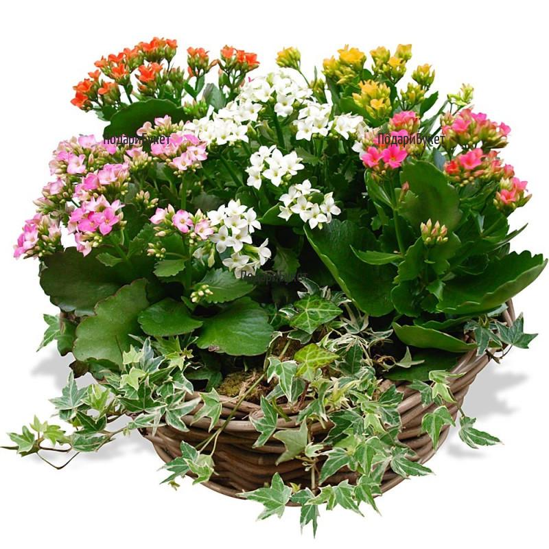 Send basket with Kalanchoe to Sofia, Plovdiv, Varna, Burgas