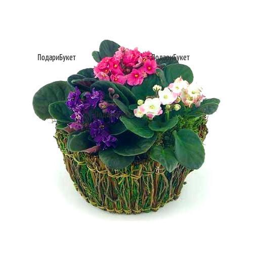 Доставка на цветя - кошница със семполии в София, Пловдив, Варна, Русе