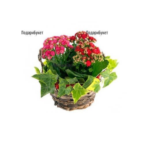 Order online flowers and baskets with pot plants and flowers to Sofia, Plovdiv